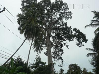 ภาพของ ต้นยางใหญ่